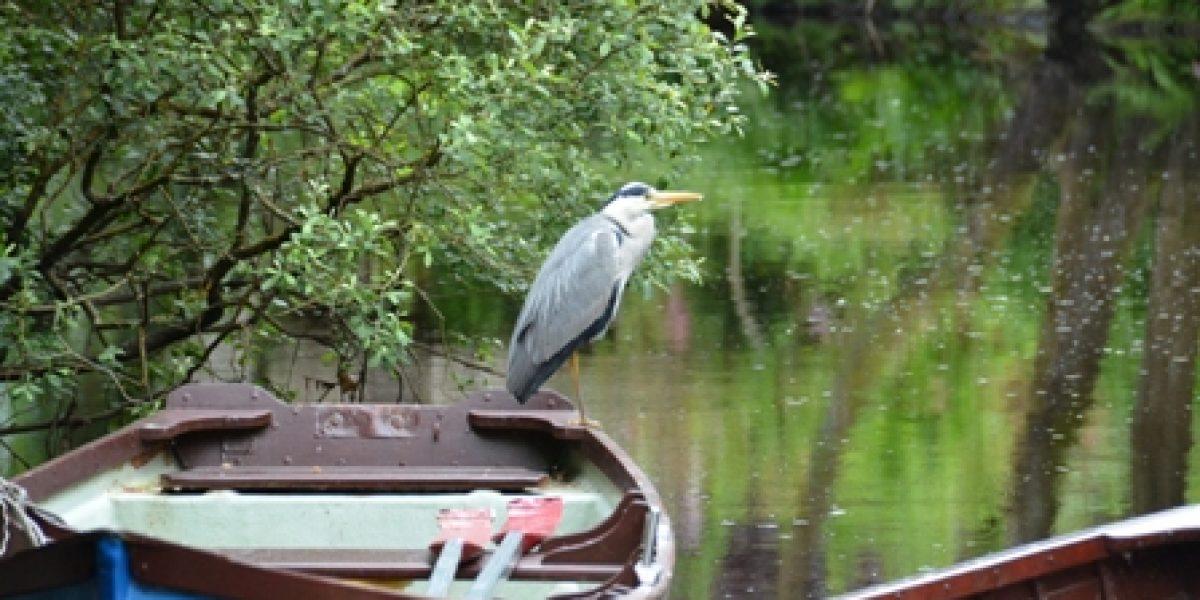 Heron on Boat for Lough Corrib