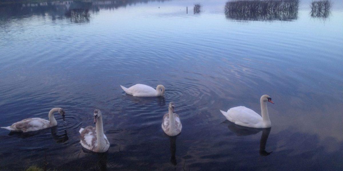 Swans Lough Corrib